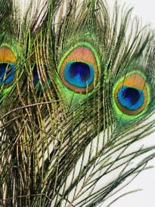20Pcs-Natural-Peacock-Feathers-douze-pouces-de-long-artisanat-et-bijoux-Supply