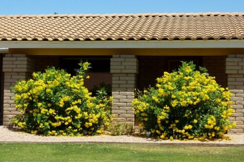 Tecoma Stans Yellow Elder Trumpet Shrub Bush Sm Tree 20-1500 Seeds