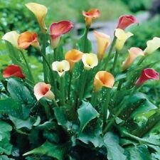 4 x Beautiful Calla Lily Tubers (Mixed Colours) Ready to Plant (Free UK Postage)