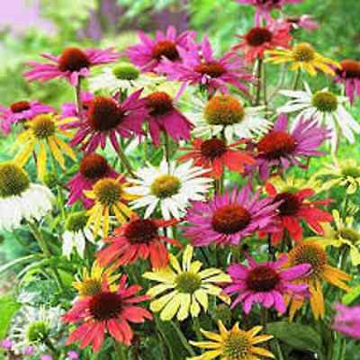 30+  Echinacea Coneflower Flower Seeds  Mix /  Long Lasting Perennial