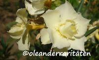 Oleander Pflanze Luteum Plenum B-ware 3l Topf Gelb Gefüllt