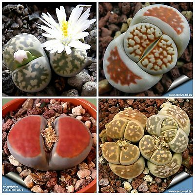 20 Samen Kaktus Lithops Karasmontana Blumen Lebendiger Stein