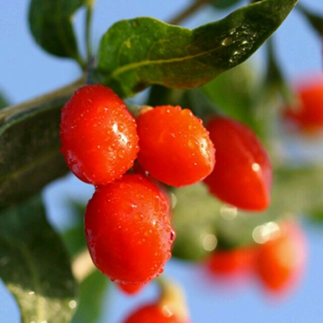 2000 Goji Berry Seeds Wolfberry Bulk Non Gmo Free Us
