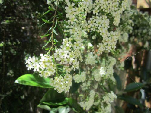 Twiggy Heath Myrtle 150 seeds Baeckea virgata