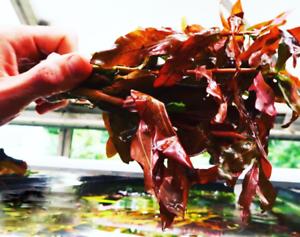 x3-Ammania-Gracilis-Potted-Freshwater-Live-Aquarium-Tropical-Plant-Decorations
