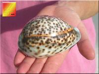 3 Tiger Cowries (cypraea Tigris) Shell 3 1/2 - 4 (89-100mm) Craft Beach Decor