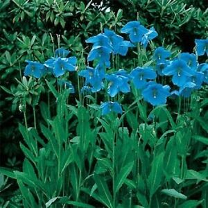 50-Blue-Himalayan-Poppy-Seeds-FLOWER-SEEDS