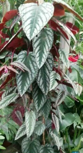 1 feuilles très rare Cissus discolor BEGONIA REX de fuite Plant raisin vigne airpurify