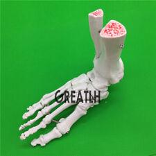 Life Size Foot Joint Human Medical Anatomy Model Anatomical Skeleton Model