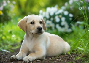 Awesome-Cute-Labrador-Puppy-Poster-Print-Size-A4-A3-Animals-Poster-Gift-8396