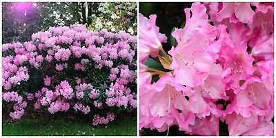 50 Rhododendron Seeds Rhododendron amesiae Seeds