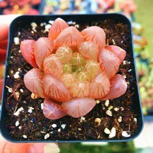 Succulent-Live-Plant-Red-Haworthia-Cooperi-Baker-4cm-Garden-Lovely-Rare-Plant