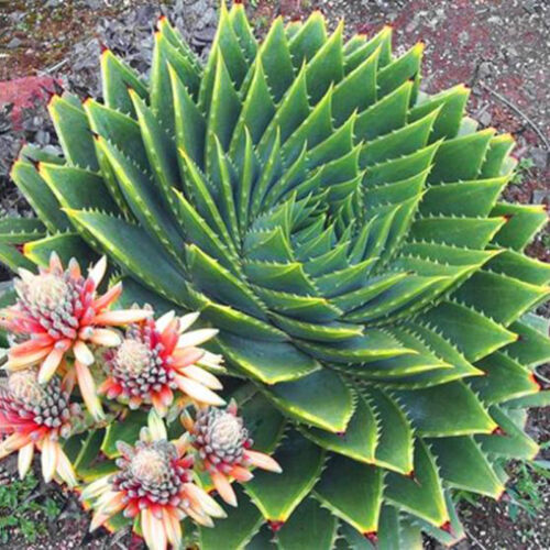 100pcs*Mix Succulents Alone Seed Aloe Polyphylla Rotation Aloe Vera-queen Seeds~