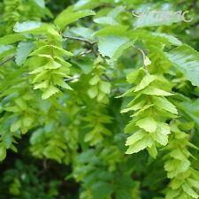 Oriental carpino (Carpinus orientalis) semi di 15+EXTRA (#131)