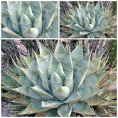 cacti succulents seed C 20 seeds of agave mixture  succulents