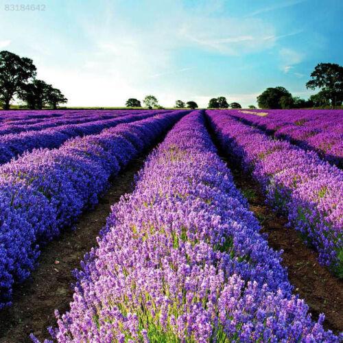 1260 200pcs Lavender Lavandula Officinalis Seeds Herb Seed Flower Floral Plant