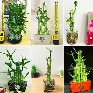 Image Is Loading 1 LUCKY BAMBOO RIBBON PLANT EVERGREEN INDOOR BONSAI
