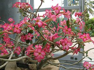 Rosa-del-Desierto-ADENIUM-OBESUM-5-Semillas