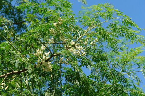 5 graines//seeds Moringa oleifera