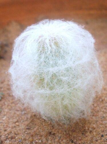 Espostoa Nana rare columnar cactus Pseudoespostoa melanostele seed 15 seeds