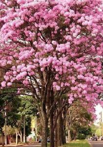 TABEBUIA-IPE-Pink-Trumpet-Tree-LIVE-Plant-Impetiginosa-Spring-Flowers-8-Tall
