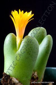 Conophytum Subglobosum rare mesemb exotic semi rock living stones seeds 30 SEEDS