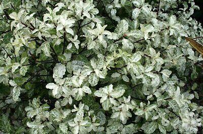 Pittosporum tenuifolium Irene Patterson in 2L pot