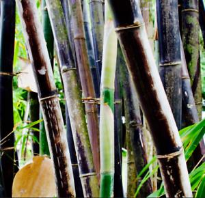 12+ inch Black Bamboo Plant