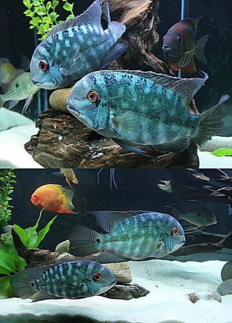 Discus Cichlids Super White Aquarium Fish Tank Sand Snake 24lbs Ebay