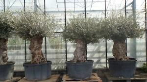 uriger-alter-Olivenbaum-knorrige-Olive-80-100-Jahre-alt-winterhart