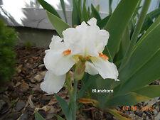 1 Cheers Intermediate Bearded Iris Rhizome