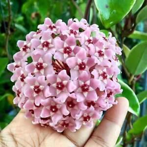 Fiori Hoya.1 Plant Hoya Meaty Albomarginata Flower Of Wax Pot 11cm Perennials