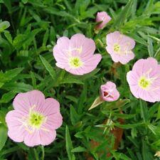 Fragrant 30 Evening Primrose Seeds Oenothera Odorata Flowers A222