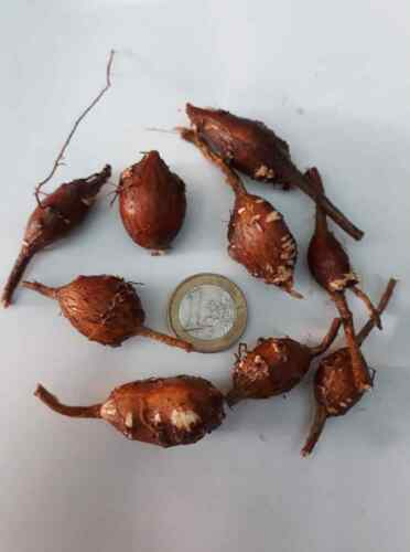 rare 3 tubers Apios americana Indian potato  potato bean hopniss