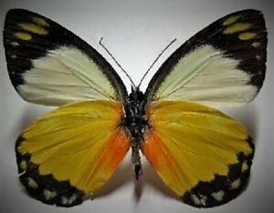 Cramers Eighty-eight Butterfly Diaethria clymena Folded FAST FROM USA