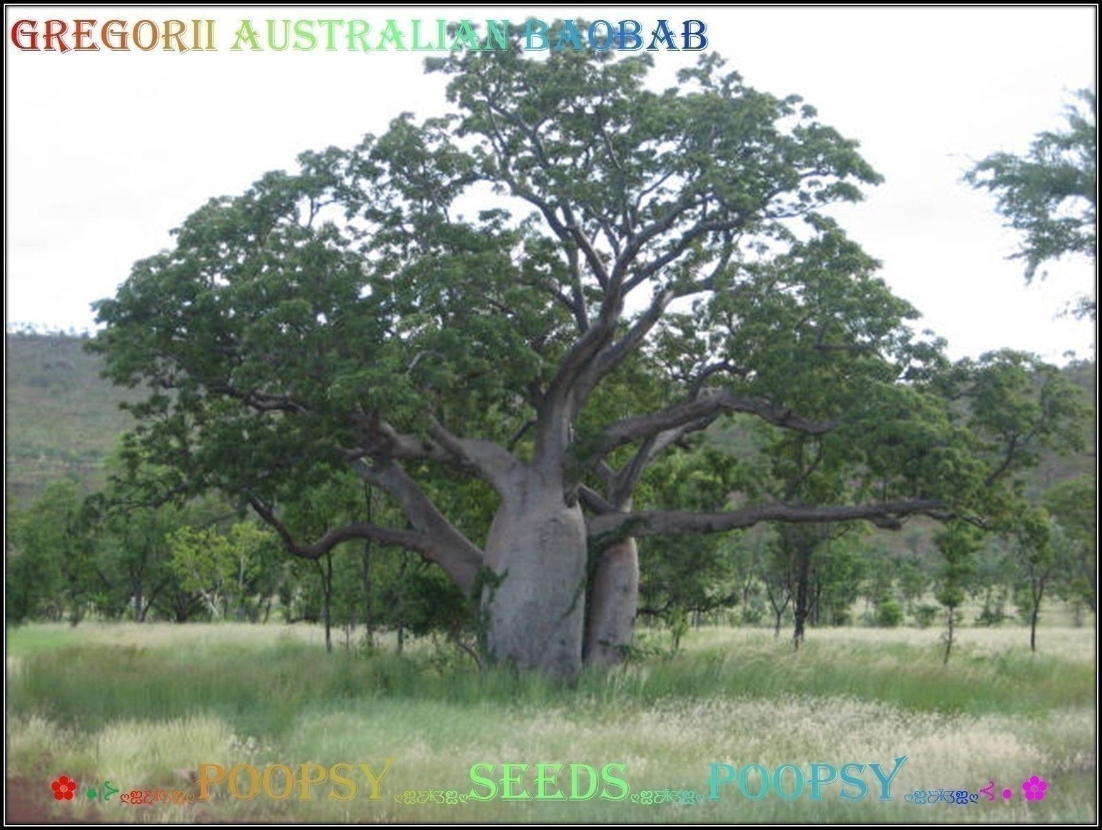 ❀⊱ ADANSONIA ✿ GREGORII AUSTRALIAN BAOBAB ✿ TREE PLANT BONSAI CAUDEX SEED ✿5