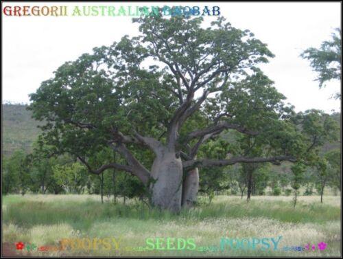 ❀⊱ Adansonia ✿ Gregorii Australian Baobab ✿ Arbre Plante Bonsai CAUDEX SEED ✿ 5