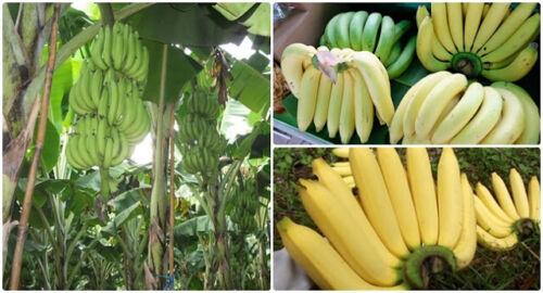"/'Gros Michel/' Hormtong Thailand AAA Group LOT NEW 5 plant 6/""-Musa acuminata"