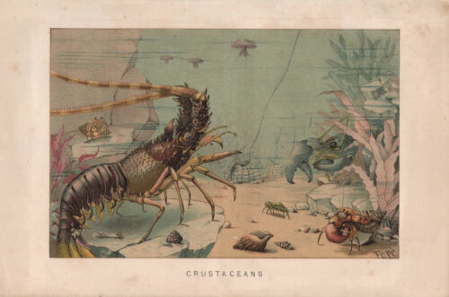 1895 VICTORIAN NATURAL HISTORY PRINT CRUSTACEANS LOBSTER etc