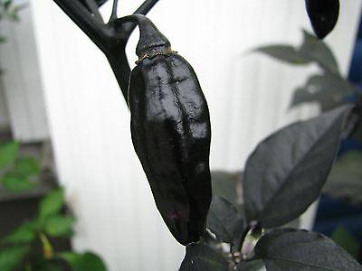 Pimenta da Neyde Schwarze Chili Rarität megascharf Capsicum chinense Chilli