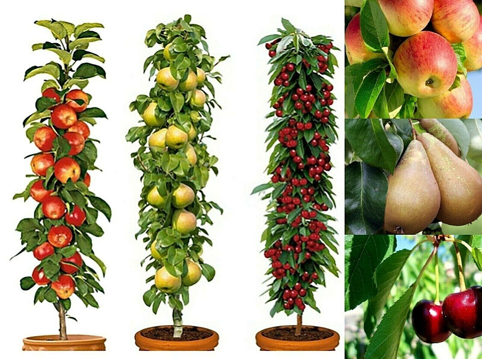 3 Pillar Fruit Trees Apple, Cherry & Pear Garden Patio Terraces