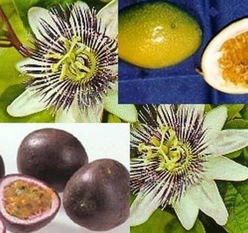 Passionsblume Obstsamen exotisch lecker Passionsfrucht
