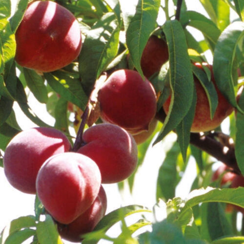 10Pcs Sweet Peach Seeds Dwarf Peach Tree Bonanza Peaches Fresh Fruit Plants JD