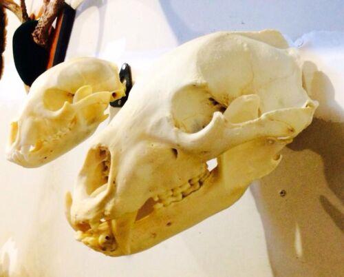 European Skull Mount Hanger *The EuroHanger*  Deer Skull Hook