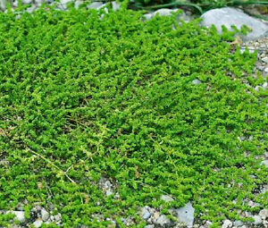 GREEN-CARPET-RUPTUREWORT-Herniaria-Glabra-2-500-Bulk-Seeds
