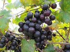 30 seeds of Noble Black Muscadine grape, excellent producer, Virginia USA