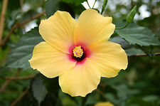 25-SEMI -HIBISCUS- 'Yellow Hibiscus'