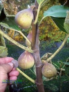 Fig tree cuttings, Italian 258, most delicious large fruits, 5 pieces !