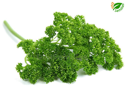 2.500 semillas Perejil Doble Rizado seeds salsa parsley persil