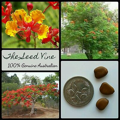 Yellow ongoing flower Caesalpinia mexicana 10 seeds